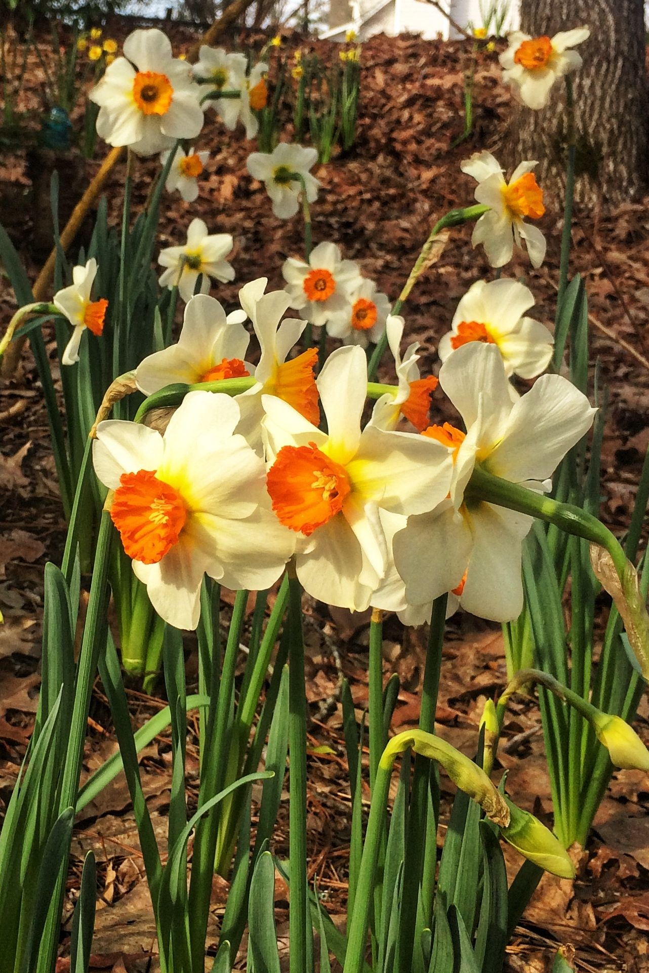 10 Daffy Tips for Daffodils