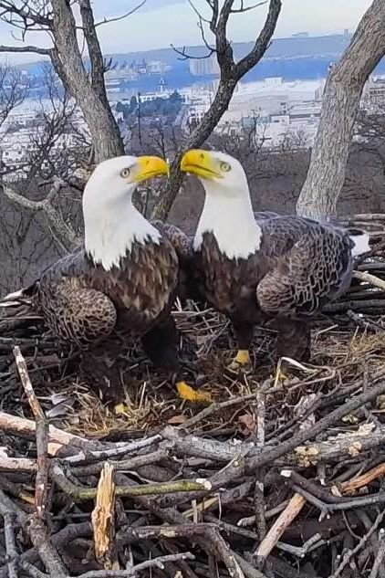 Liberty and Justice, D.C.'s Beloved Bald Eagle Couple, Have Reconciled!