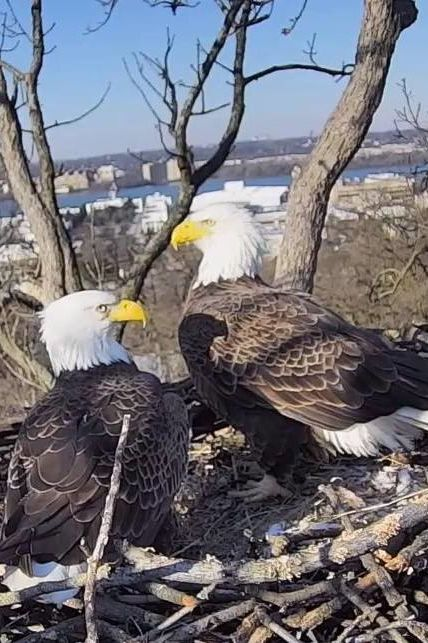 WATCH: No Eaglets for Either of Washington D.C.'s Famous Bald Eagle Couples This Year