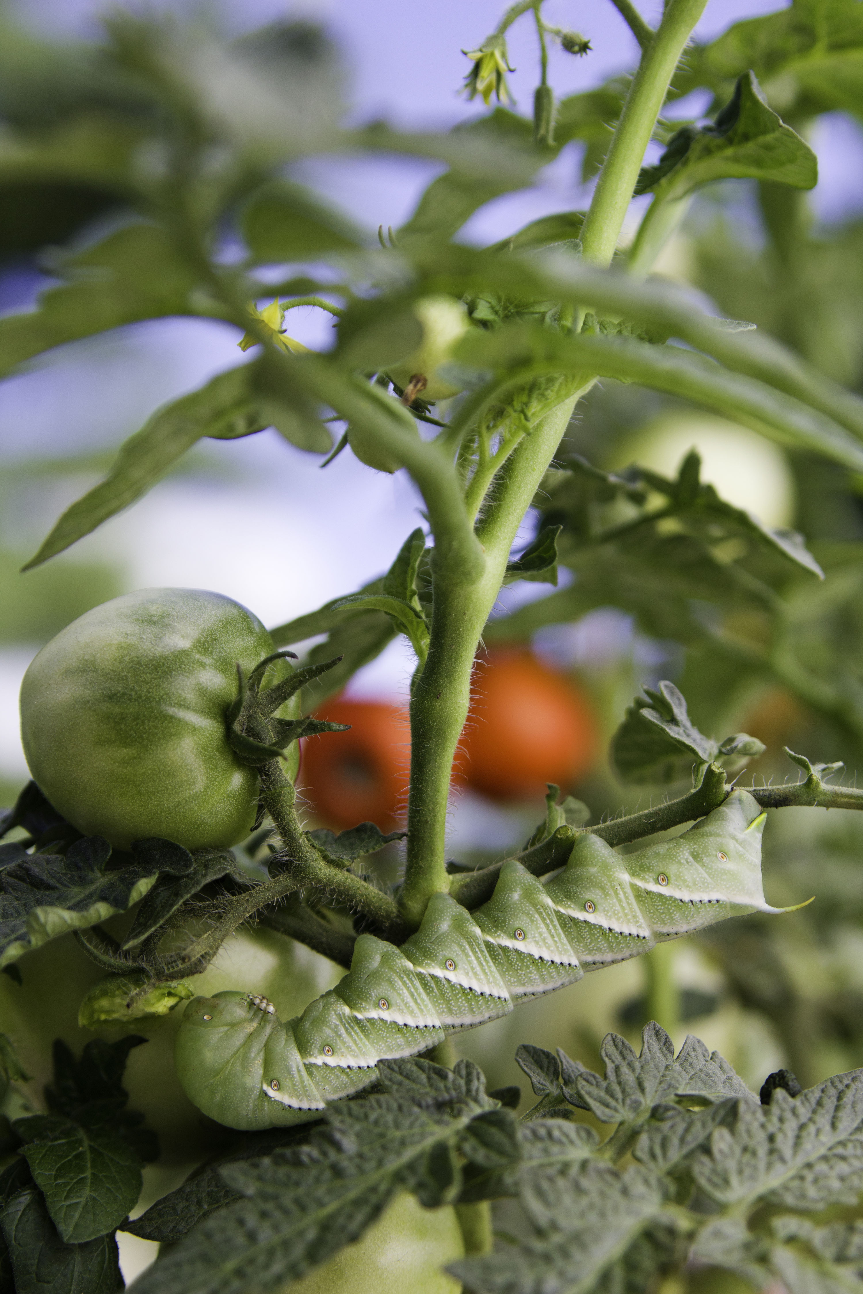 What is a Tomato Hornworm?