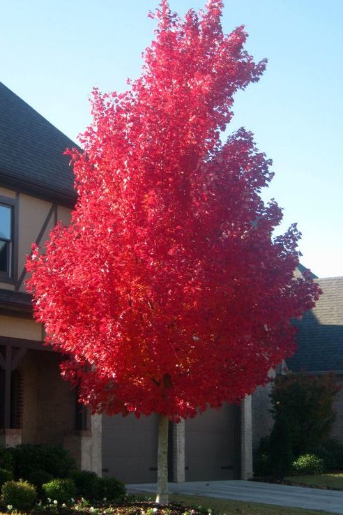 Shade Tree of the Week -- 'October Glory' Red Maple