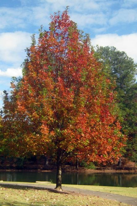 Shade Tree of the Week -- Nuttall Oak (What's that?)