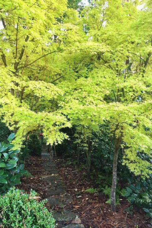 Coral Bark Maple -- A Tree For All Seasons