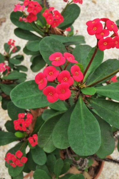 25 Years of Nonstop Blooms -- Thank You, Crown Of Thorns