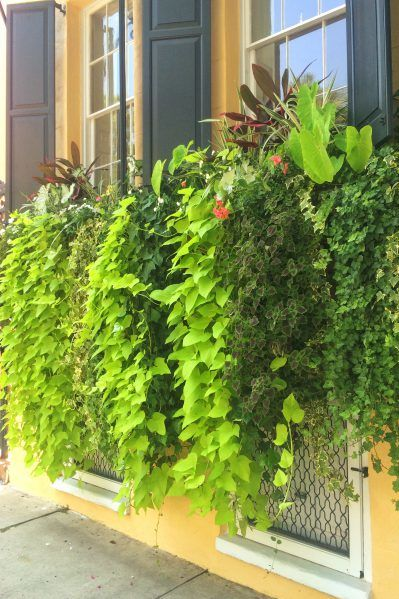 """Sweet Potato Vines -- The Best """"Spillers"""" Ever"""