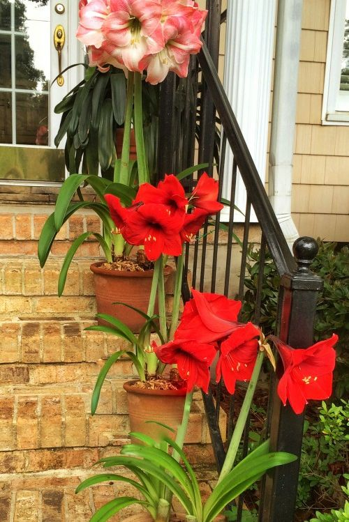 Why It's Dumb to Chuck Your Amaryllis