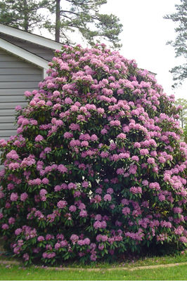 Grumpy's Top Rhododendrons