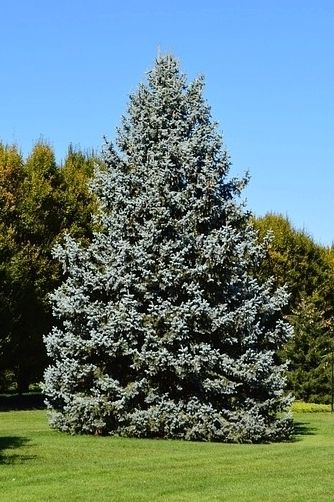 All I Want For Christmas Is A Beautiful Blue Spruce
