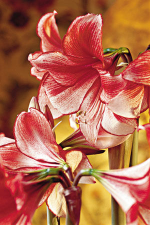 Amaryllis After Christmas -- Now What?