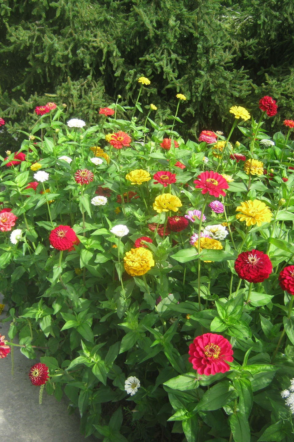 Zinnias Are So EZ
