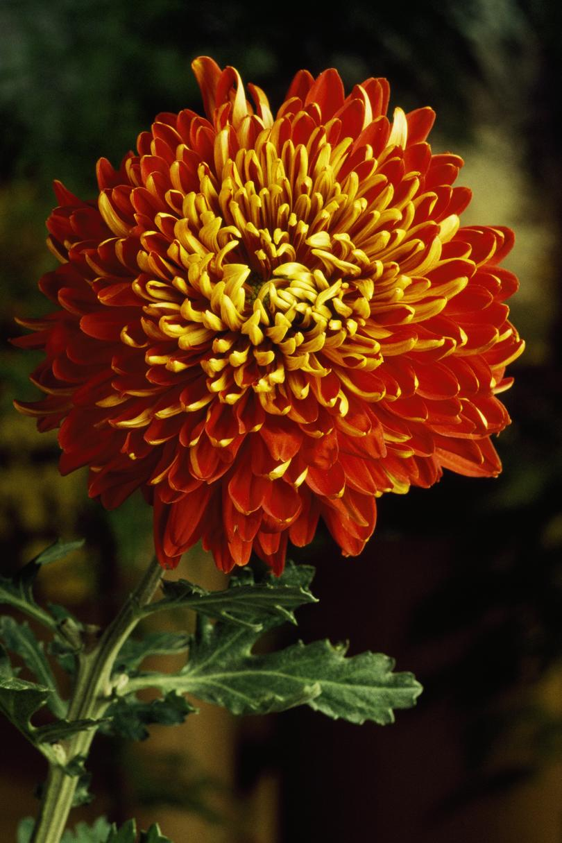Flowers for the month you were born southern living chrysanthemum birth flower november izmirmasajfo