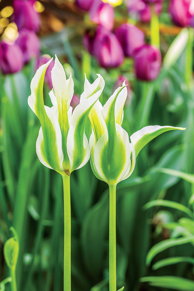Green Star Tulips
