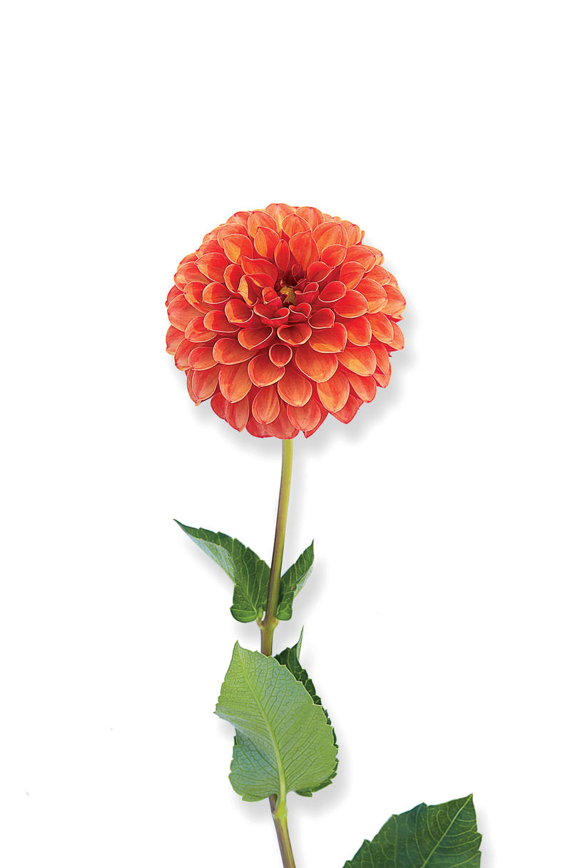 Valley Rust Bucket Dahlia