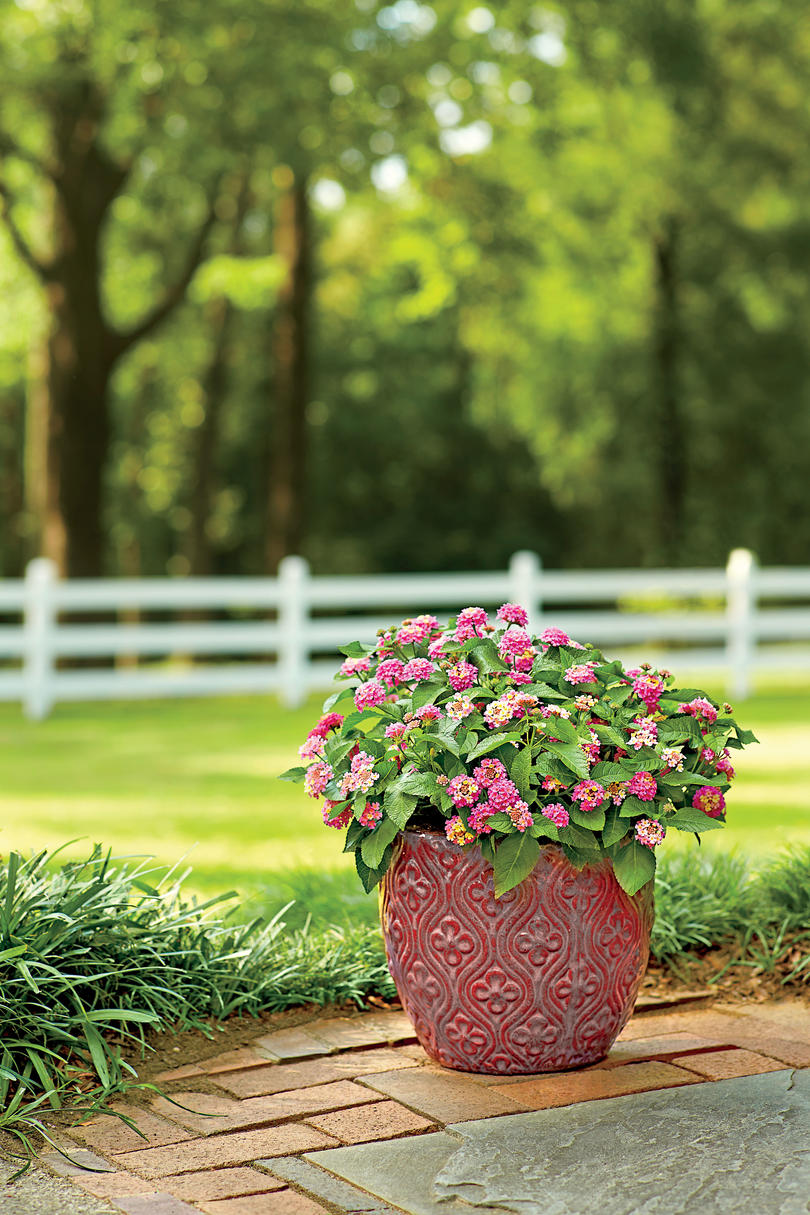 Spectacular container gardening ideas southern living meet miss lantana ccuart Images