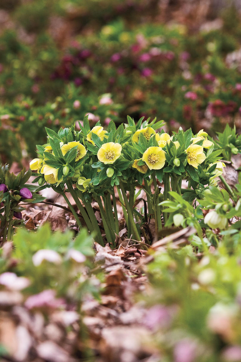 Winter Flowers: Lenten Roses