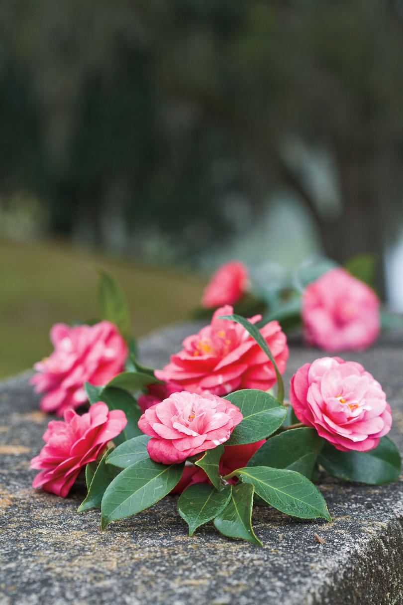 Southern Gardening: Camellias in Charleston