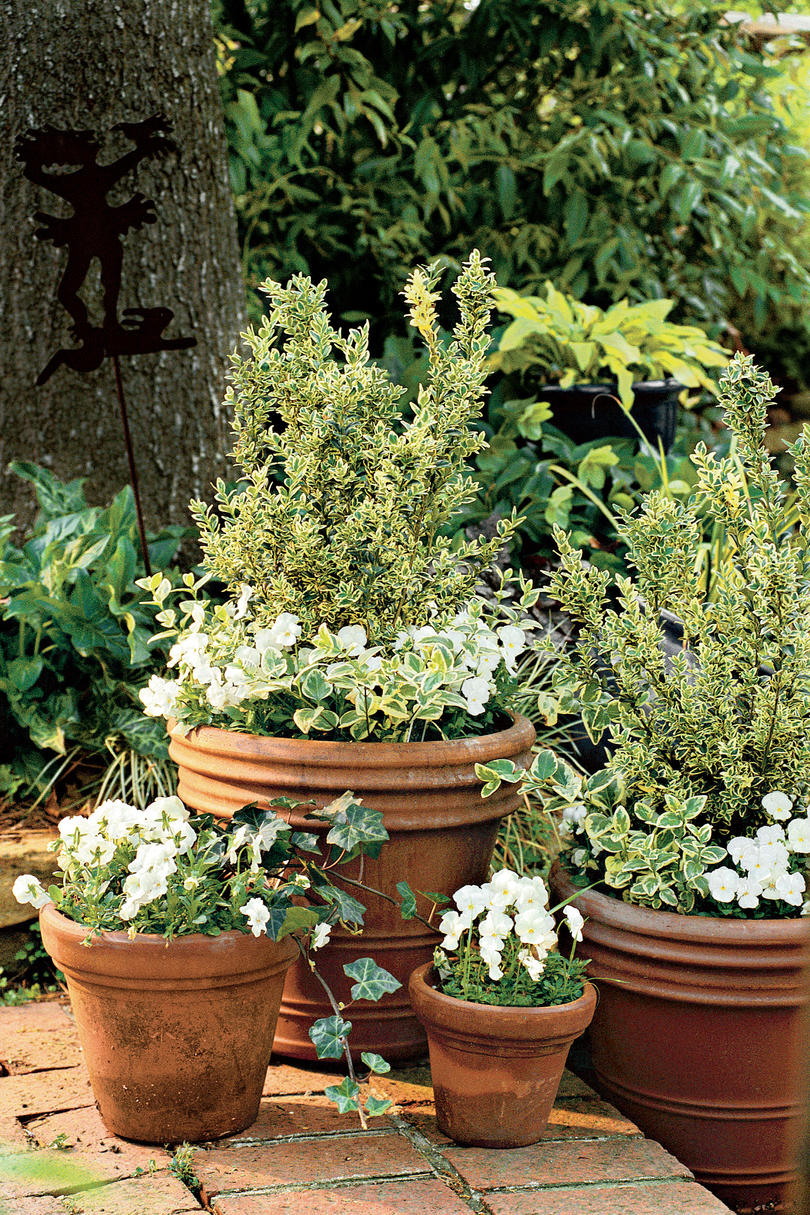 Variegated Boxwood & Violas