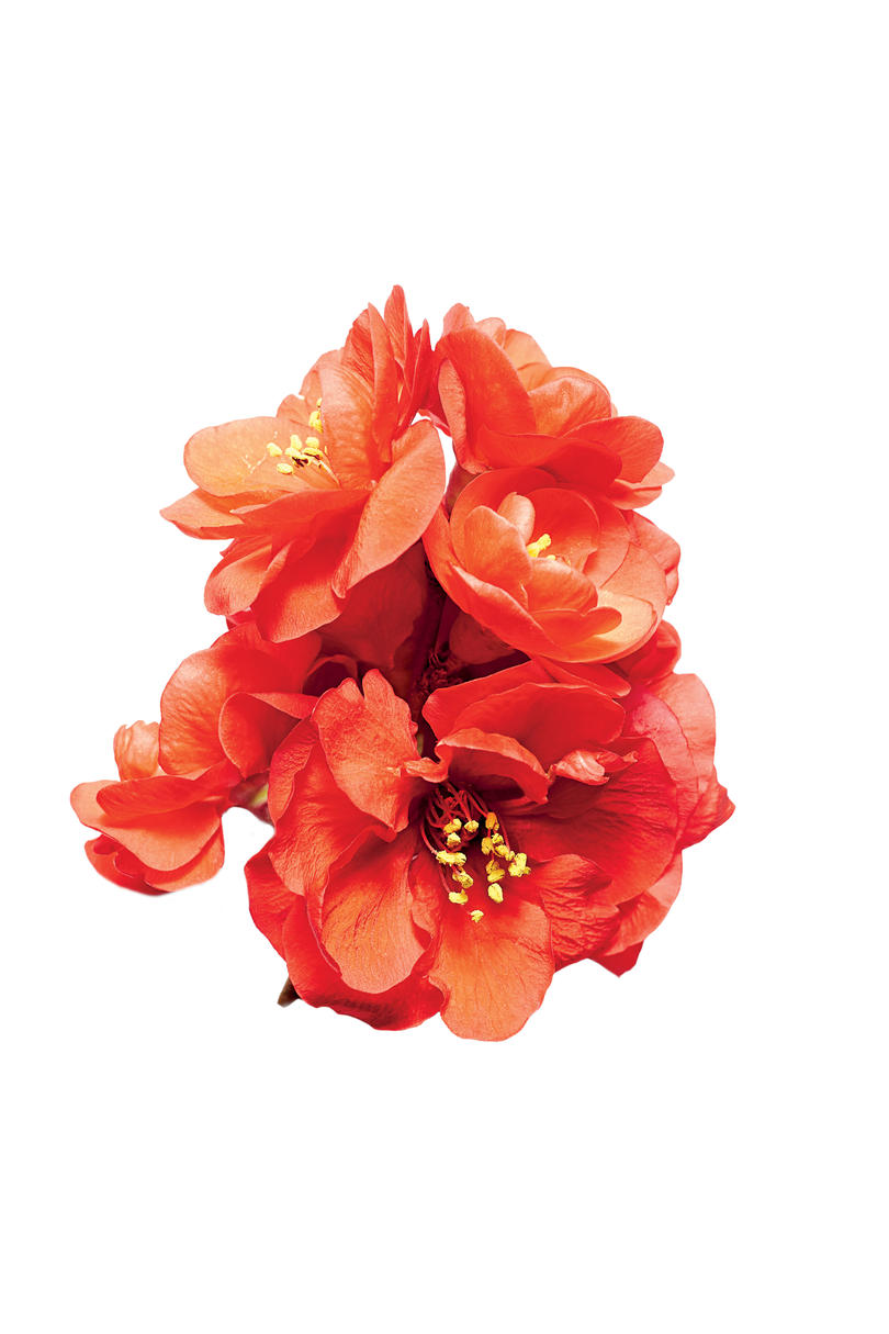 Red Chief Quince Bloom