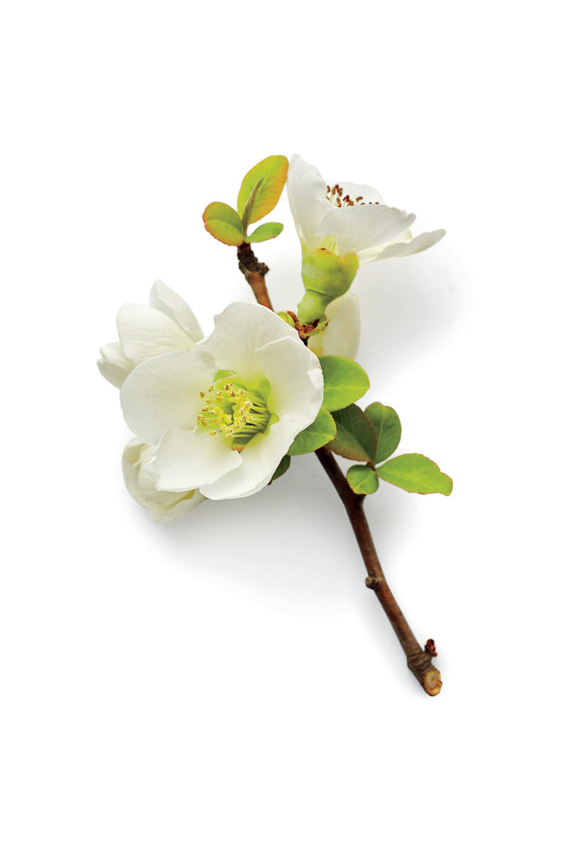 Snow Quince Blooms