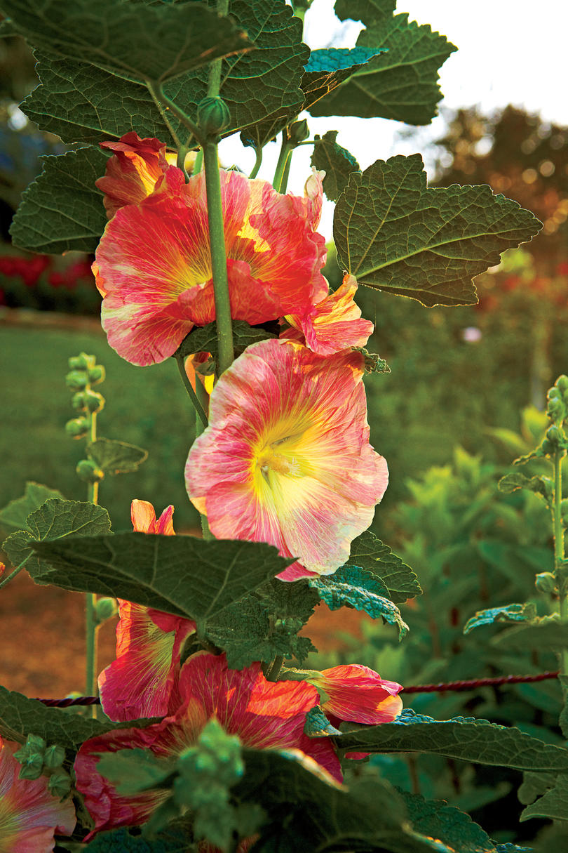 Hollyhock Color Choices