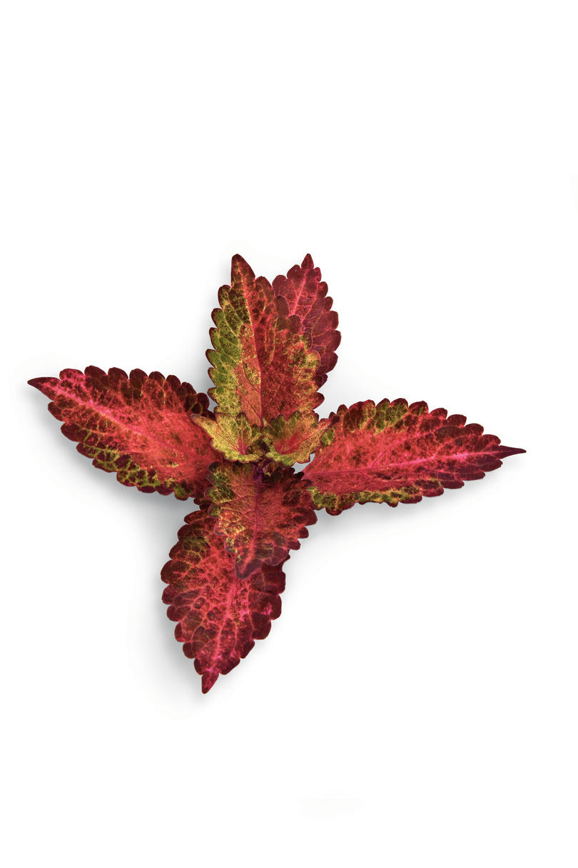 'Indian Summer' Coleus Plant