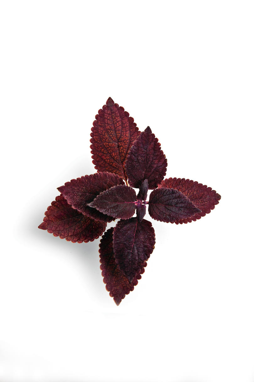 'ColorBlaze Dark Star' Coleus Plant