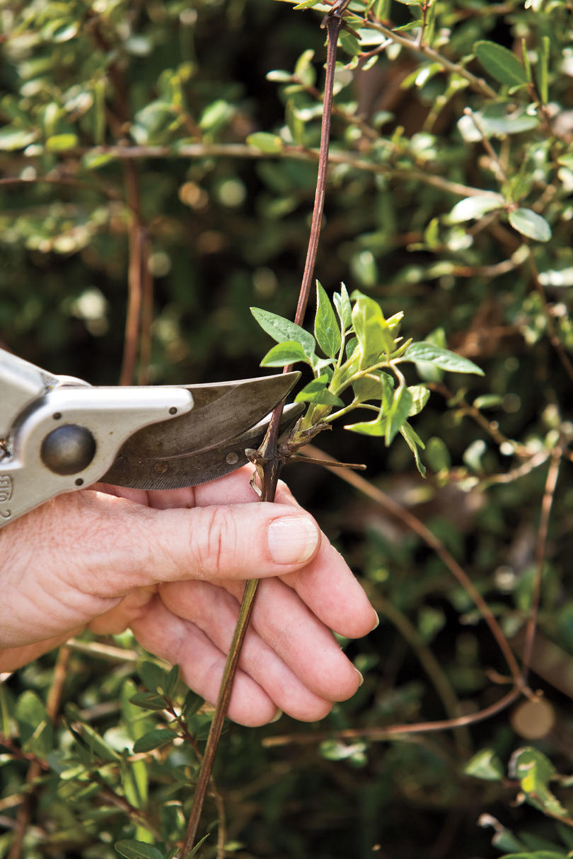 Pruning: Group II Clematis