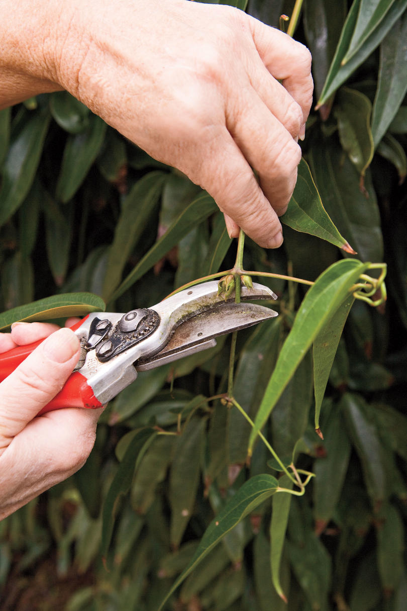 Pruning: Group I Clematis