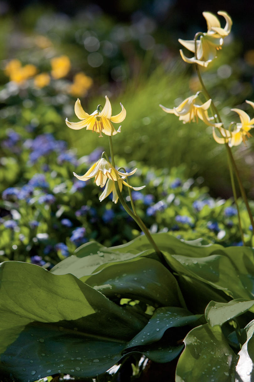 'Pagoda' Trout Lilly