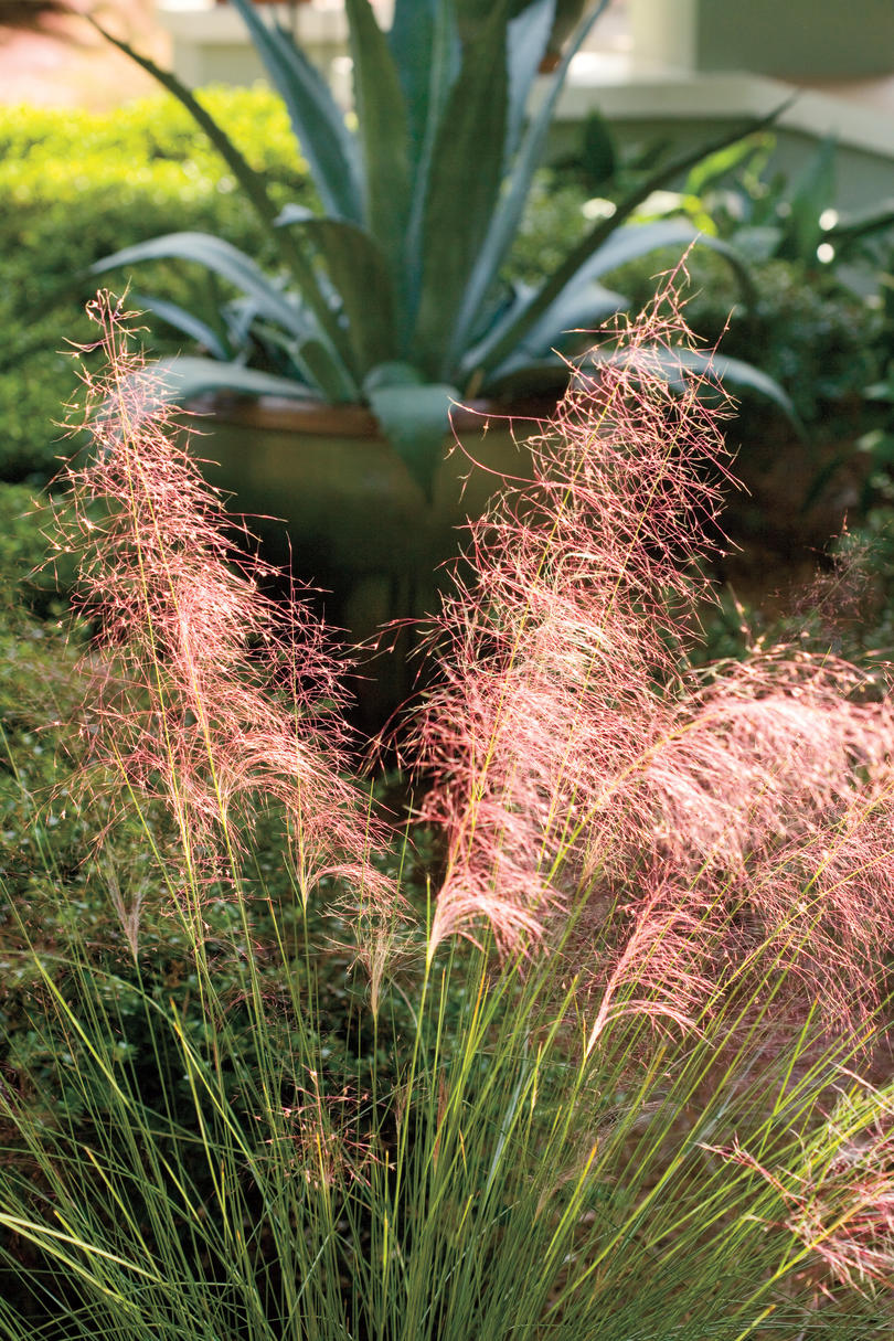 Pink muhly