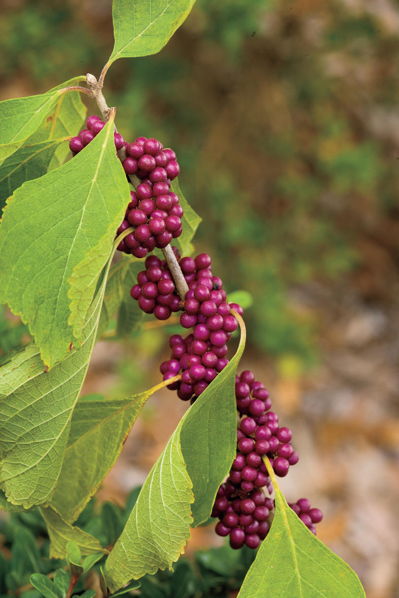Drought-Tolerant Native Plants: Beautyberry