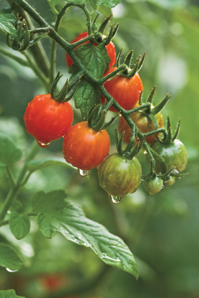 Growing Tiny, Tasty Tomatoes:Tomato Sources