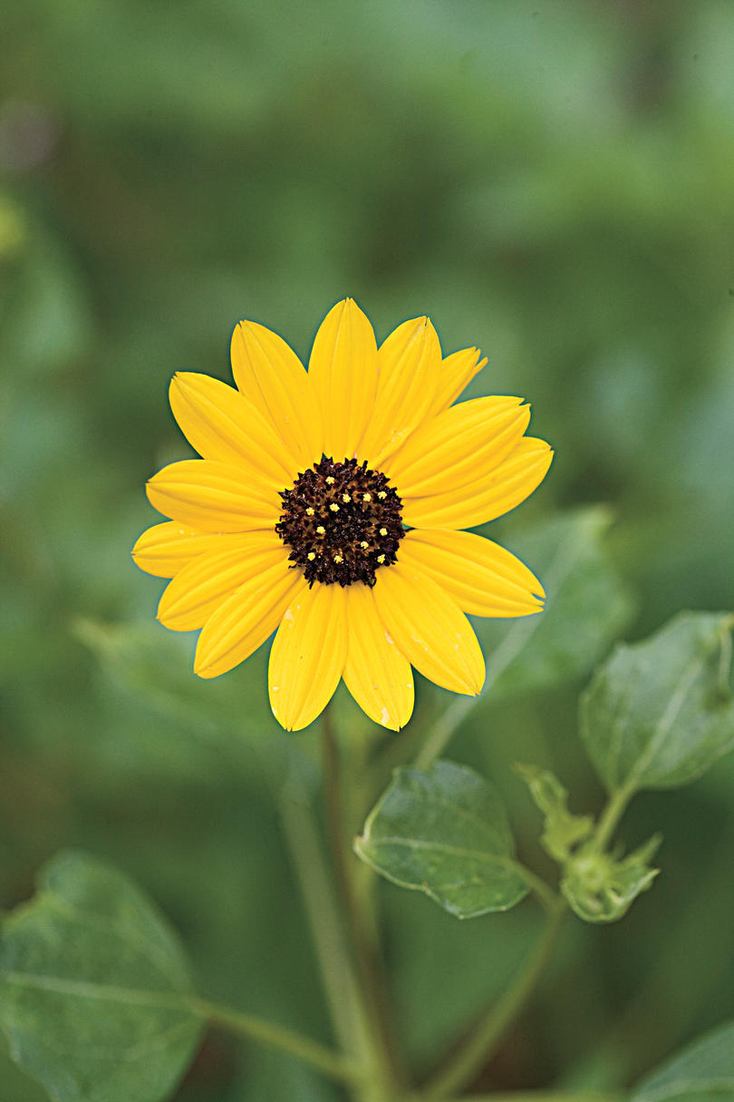 Drought-Tolerant Native Plants: Beach sunflower