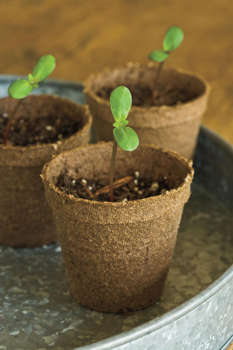 Sunflower Gardens: Planting Sunflowers