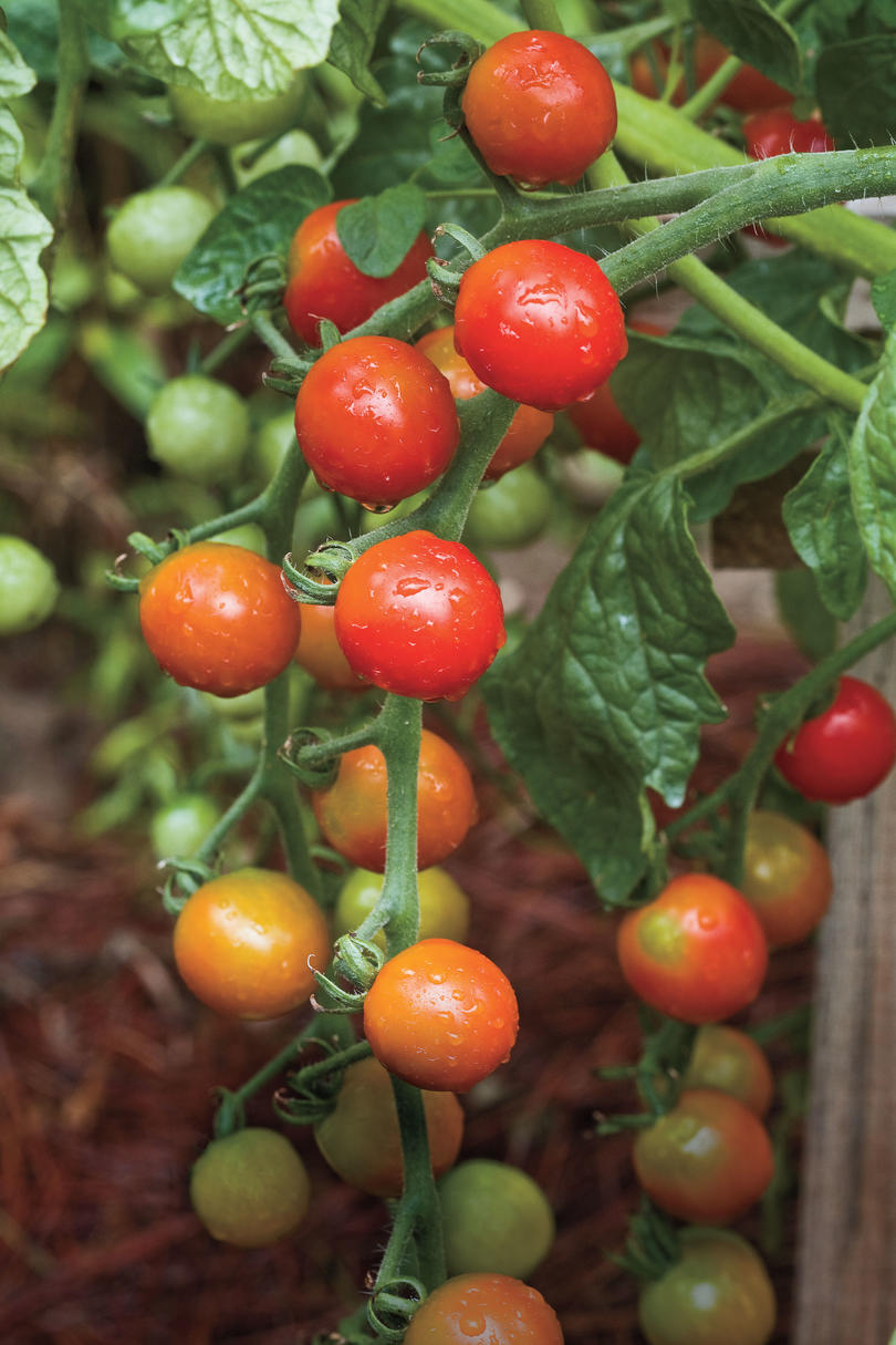 Southern Living Tomato Pie Recipe: Plant Vegetable In Your Back Yard