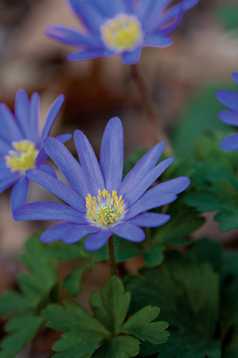 Greek Windflower