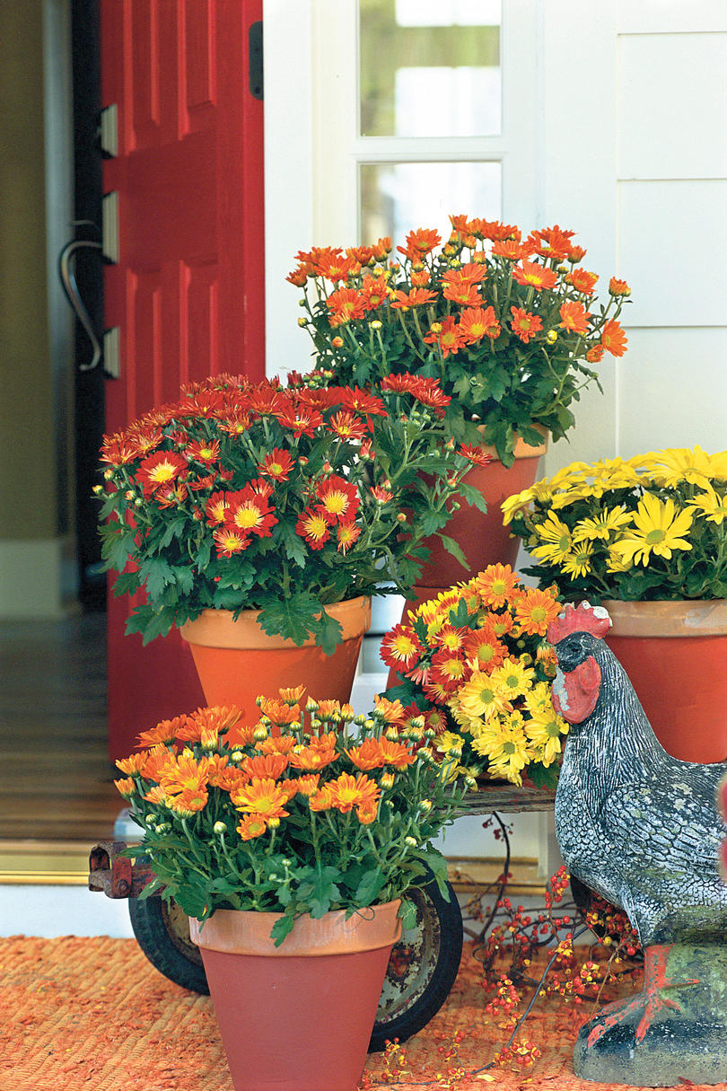 Beginners Guide To Chrysanthemums Southern Living