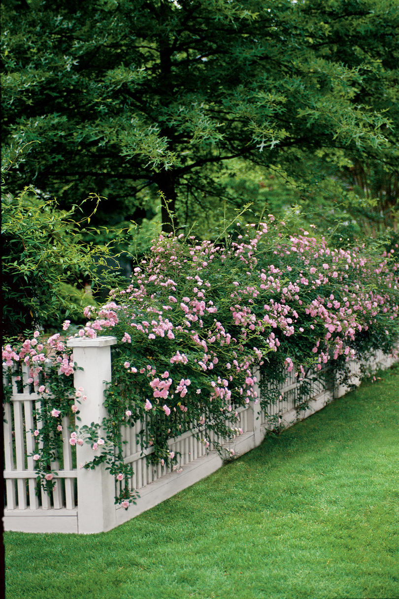 Simple Rose Garden: Easy Growing: Flowers For Fences
