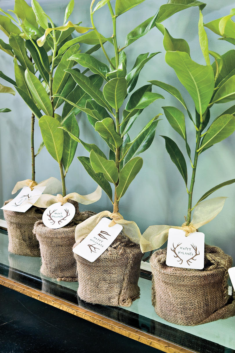 Christmas Decorating Ideas: Magnolia Tree Saplings