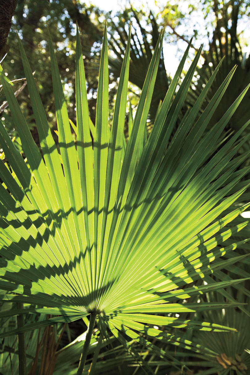 Florida Everglades: Sabal Palms
