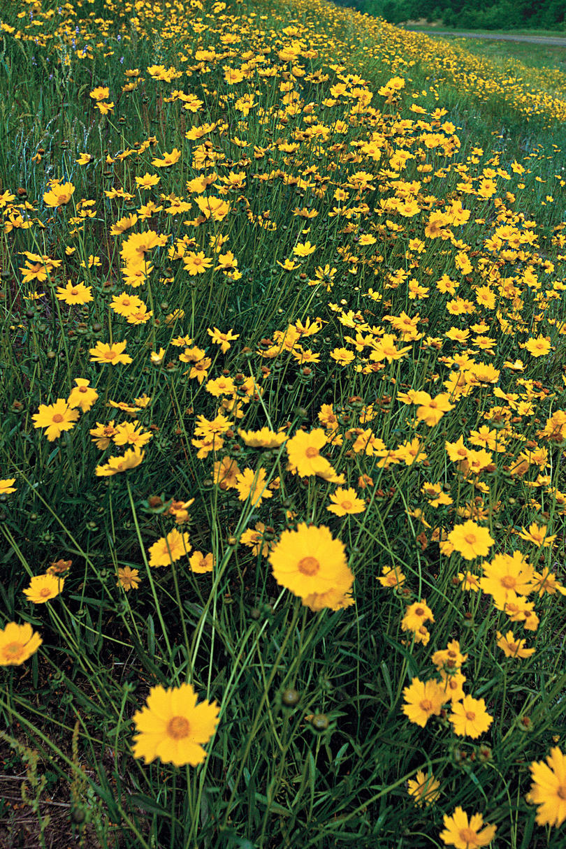 Drought tolerant plants southern living threadleaf coreopsis mightylinksfo