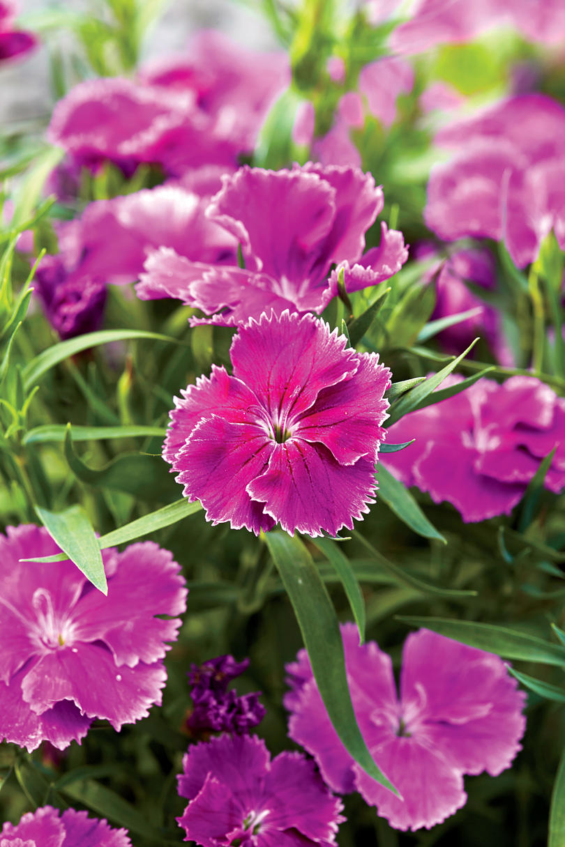Spring Blooming Perennials And Annuals Southern Living