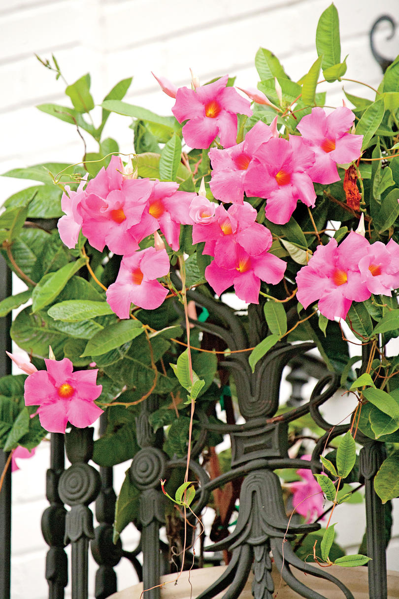 Colorful Flowering Vines Southern Living