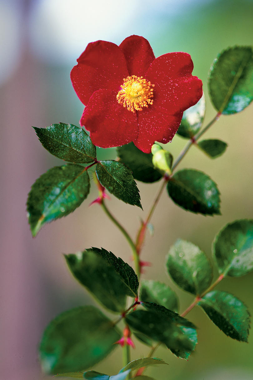 9 Dazzling Types Of Roses Southern Living