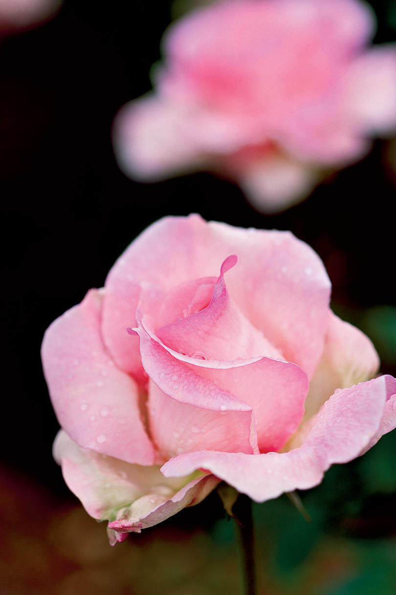'Tiffany' Rose