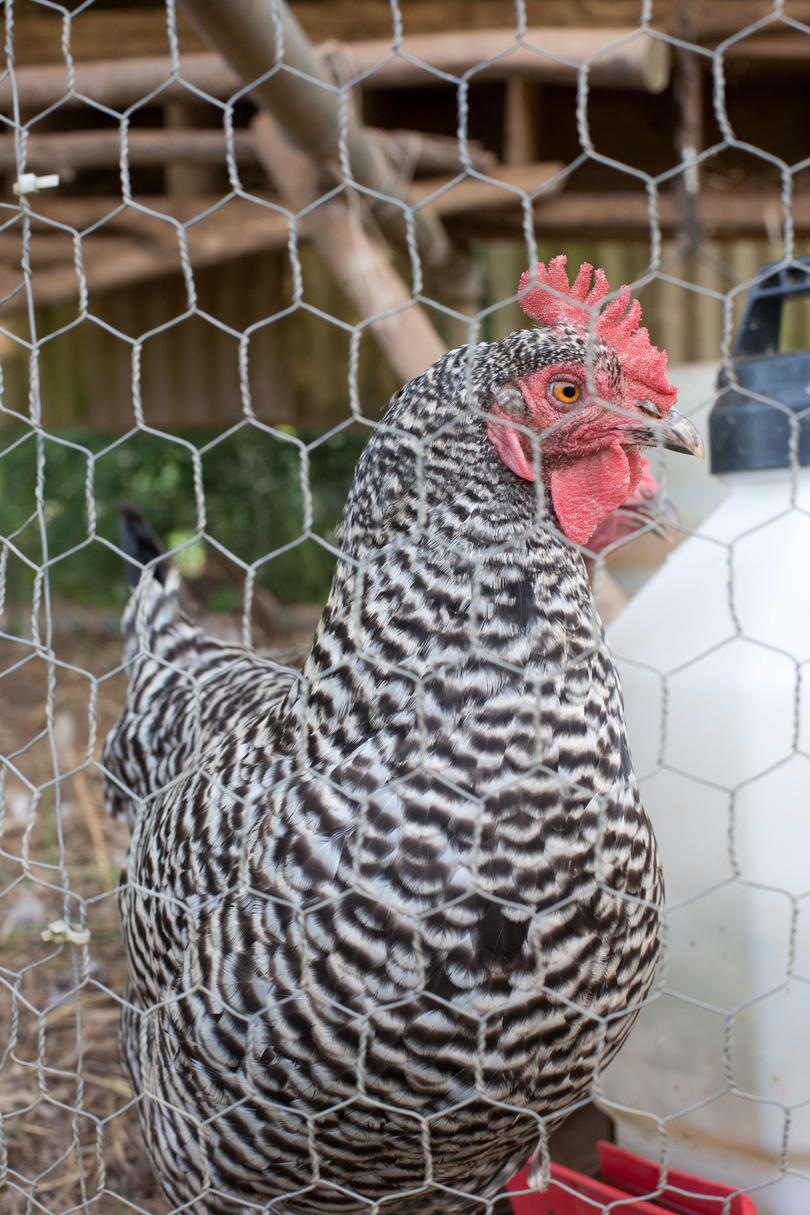 Black and white chicken behind chicken wire in coop
