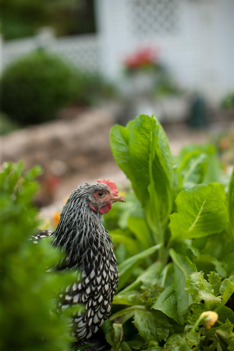 Close-up of Silver Laced Wyandotte chicken in garden.