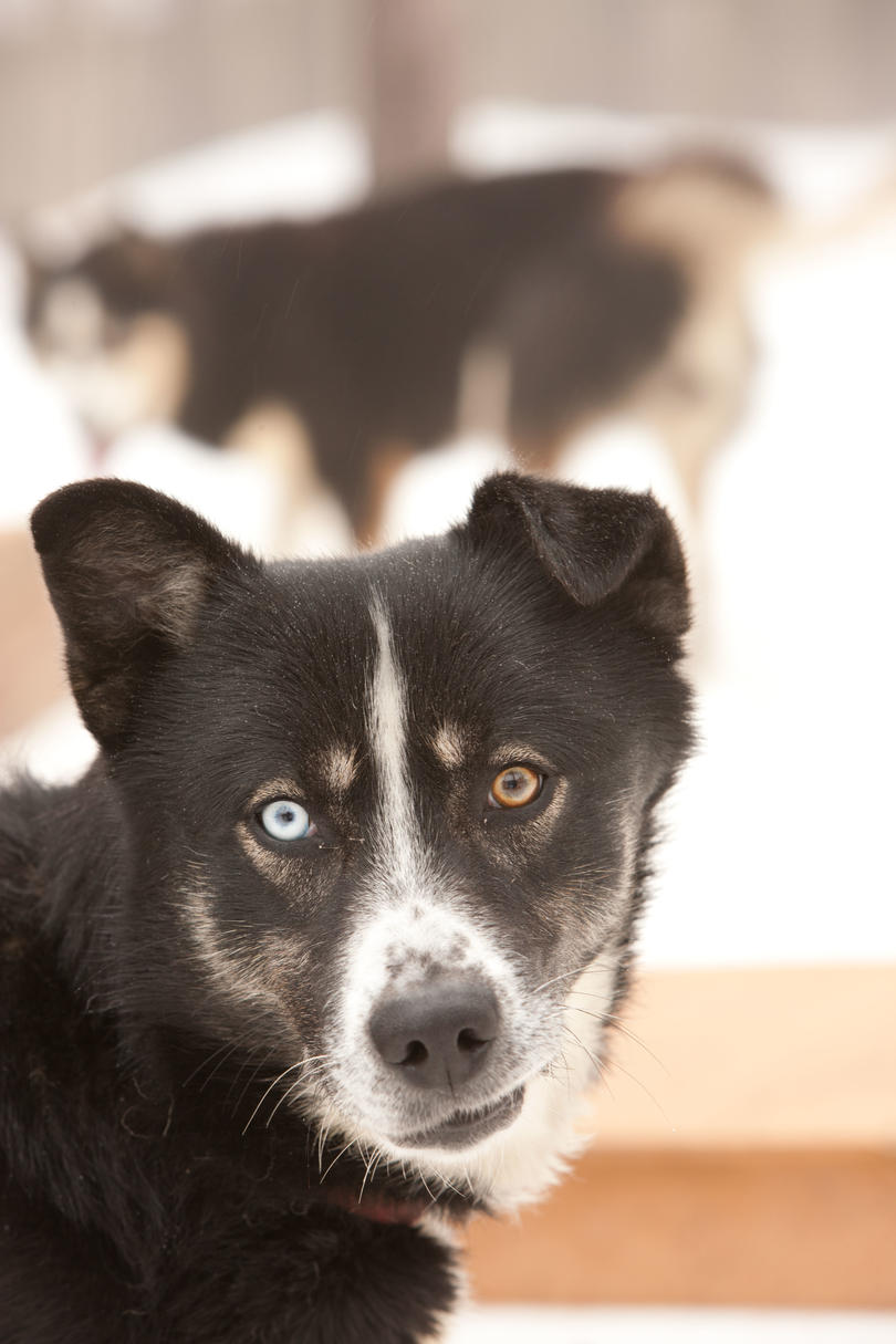 black dog with blue and yellow eyes