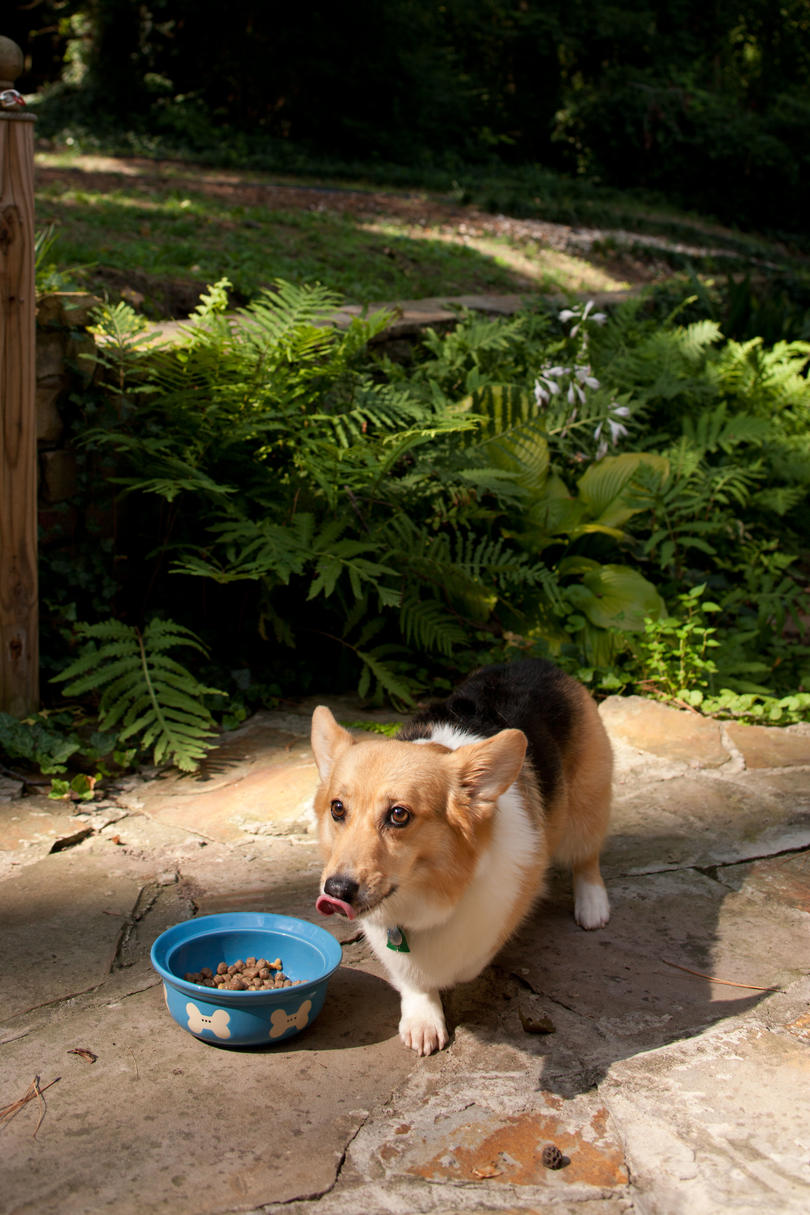 corgi eating food