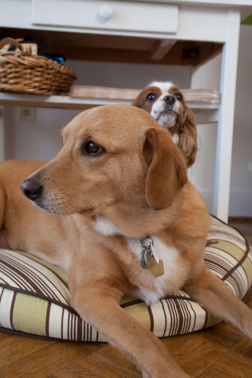 two dogs on pet bed
